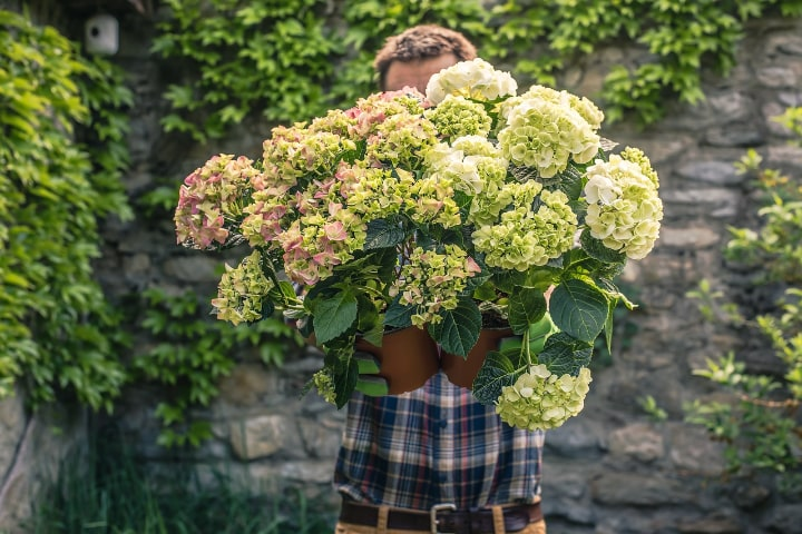 healthy disease free hydrangea plants