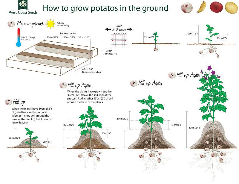 growing potato plant from seed
