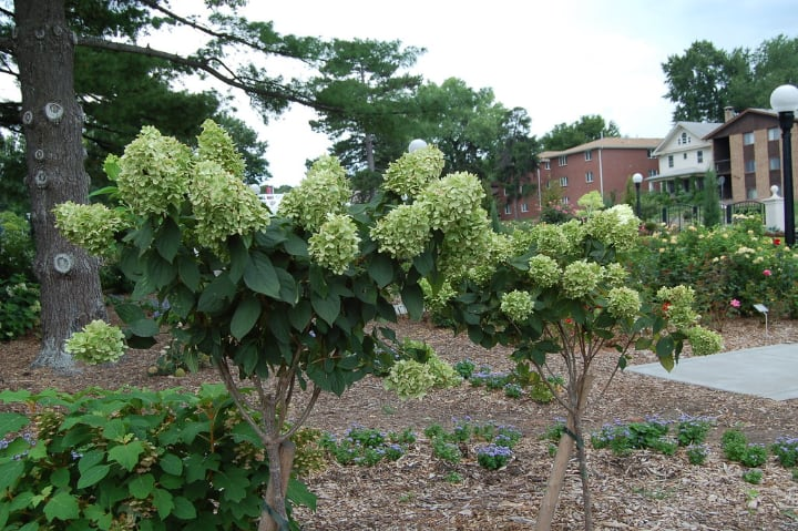 hydrange tree