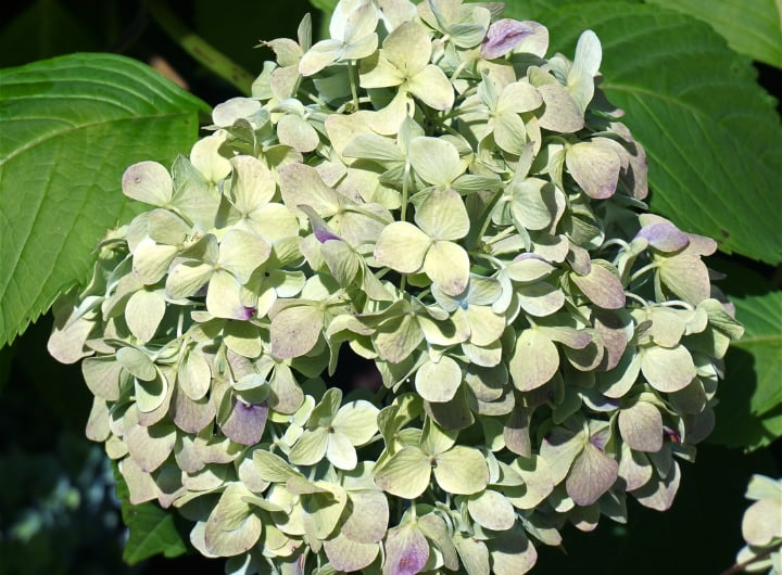 hydrangea changing colors