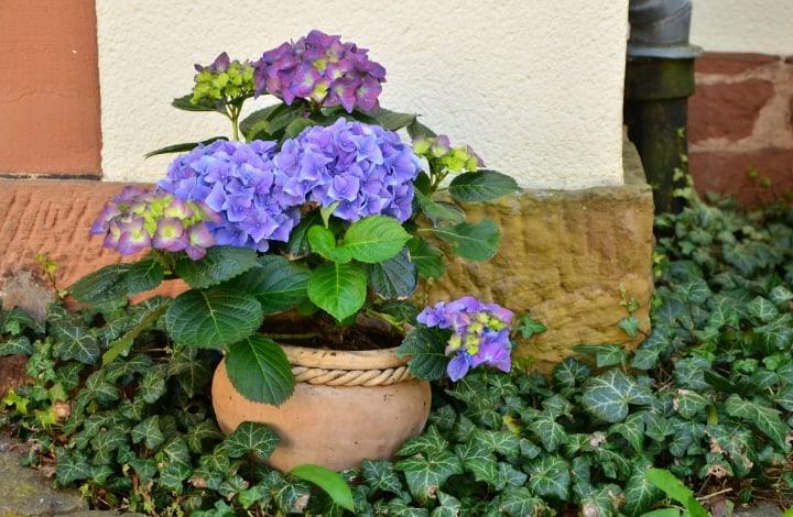 hydrangea in a pot