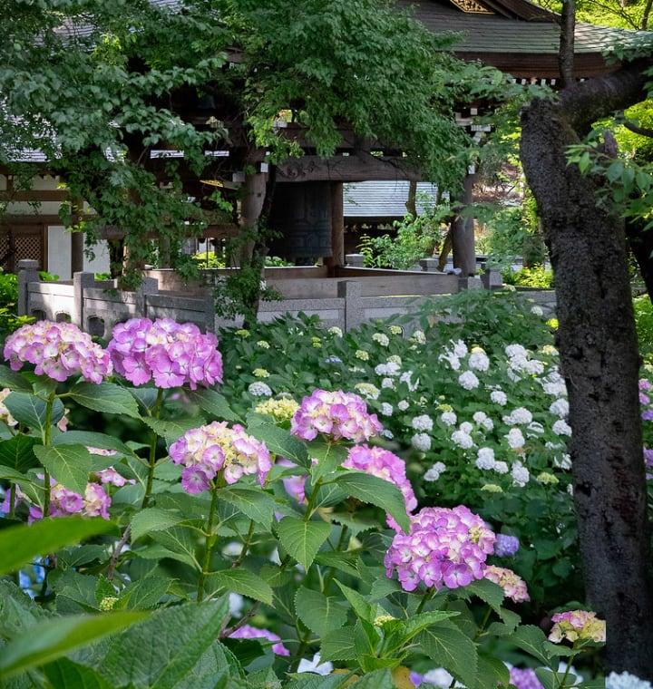 hydrangea in japan