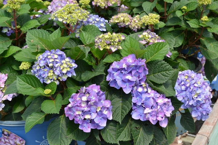 hydrangea macrophylla endless summer bloomstruck