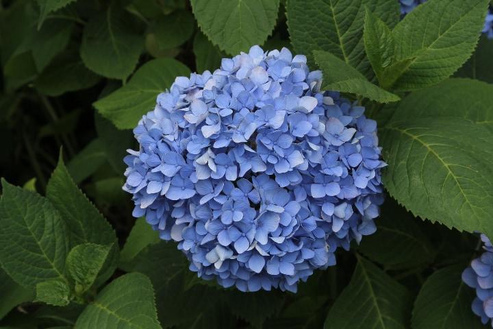 hydrangea macrophylla nikko blue
