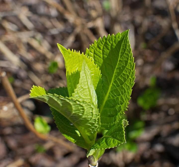 hydrangea sprouts