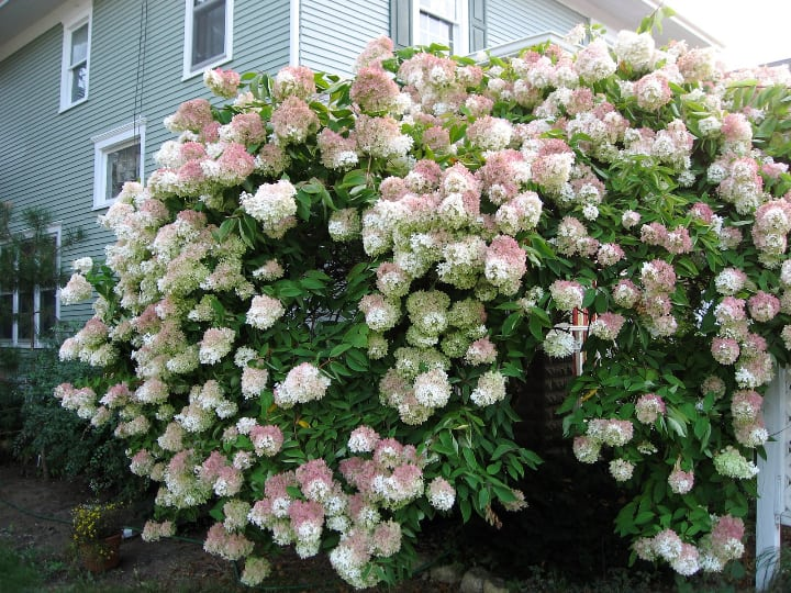 hydrangea trees that survive winter
