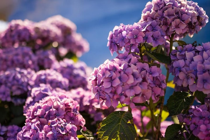 hydrangeas in full sunlight