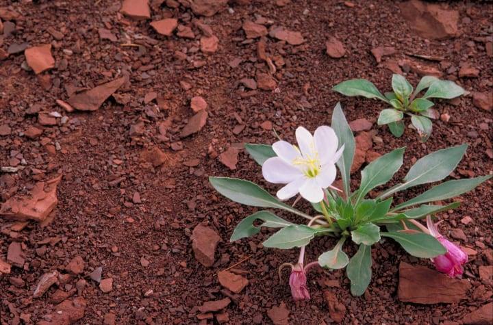 lily flower soil