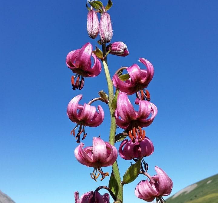 martagon lily flower hybrids