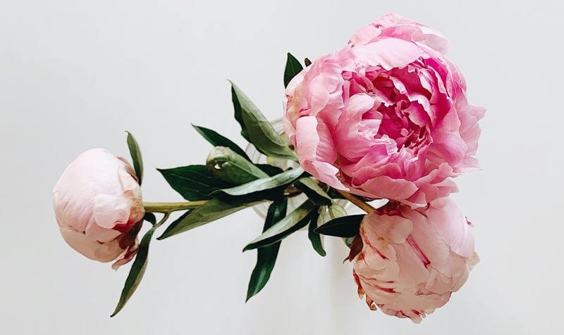 peonies meanings