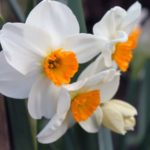 pet safe daffodils plants in australia
