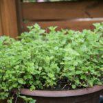 pet safe oregano herb plant