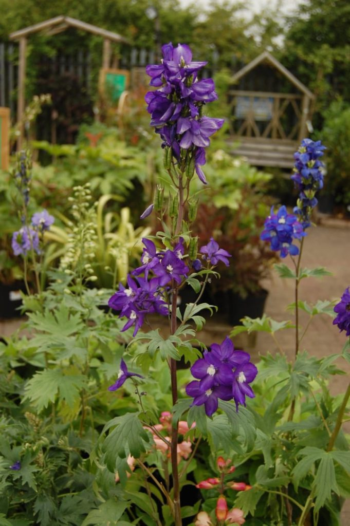 potted delphinium in the garden