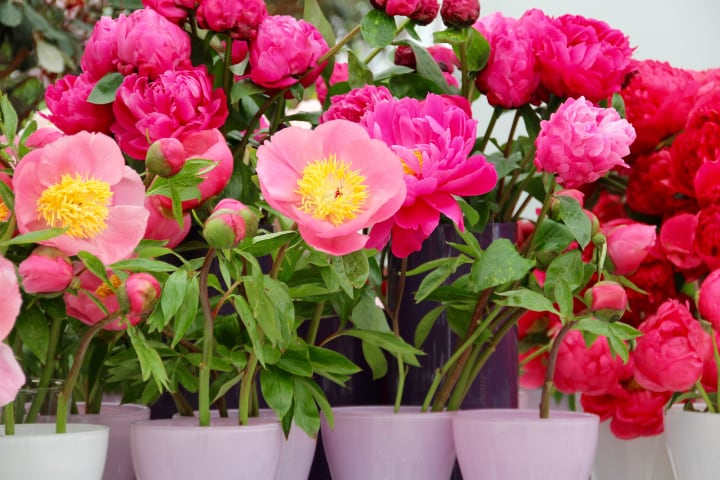 potted peonies for sale