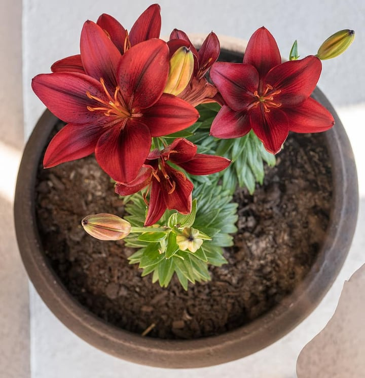 potted red lily flowers