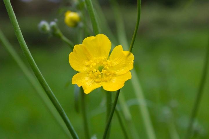 ranunculus acris meadow buttercup
