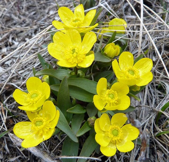 ranunculus glaberrimus sagebrush buttercup