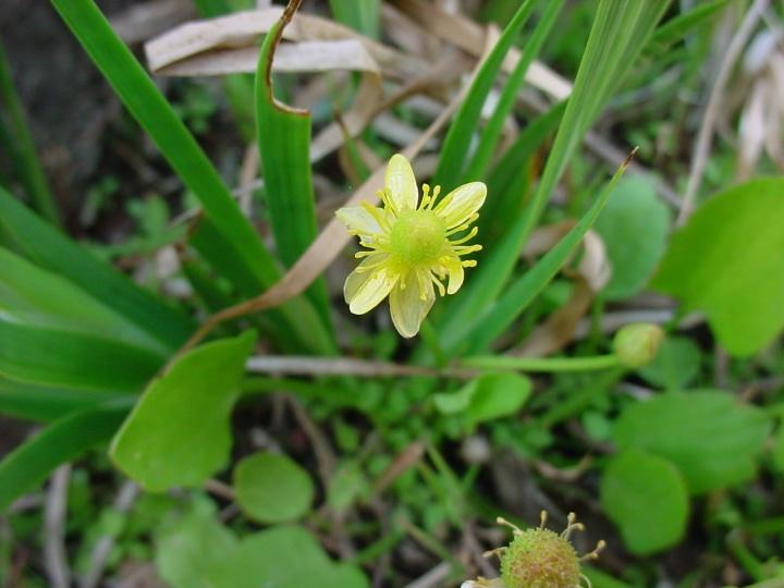 ranunculus hydrocharoides frogbit buttercup