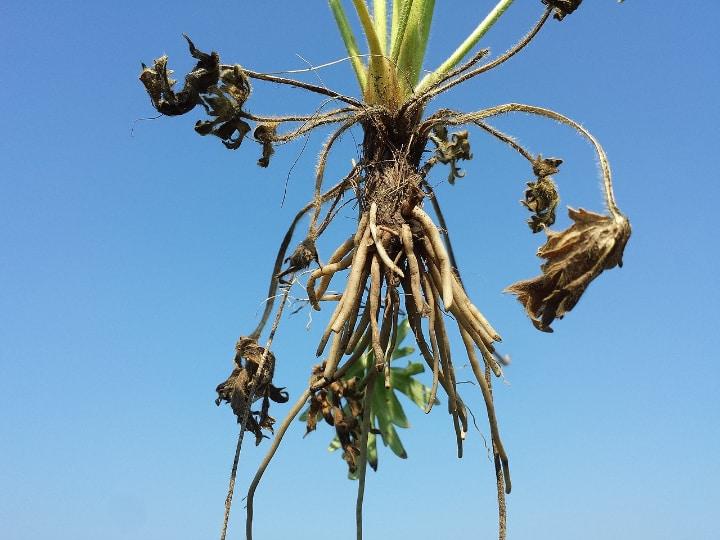 ranunculus roots