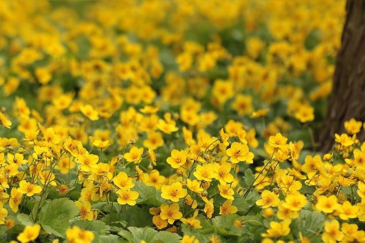 ranusnculus meadow
