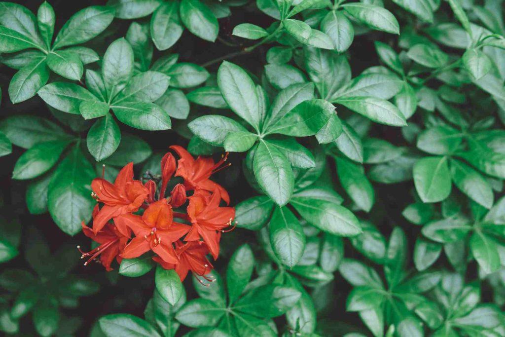 red azalea plant