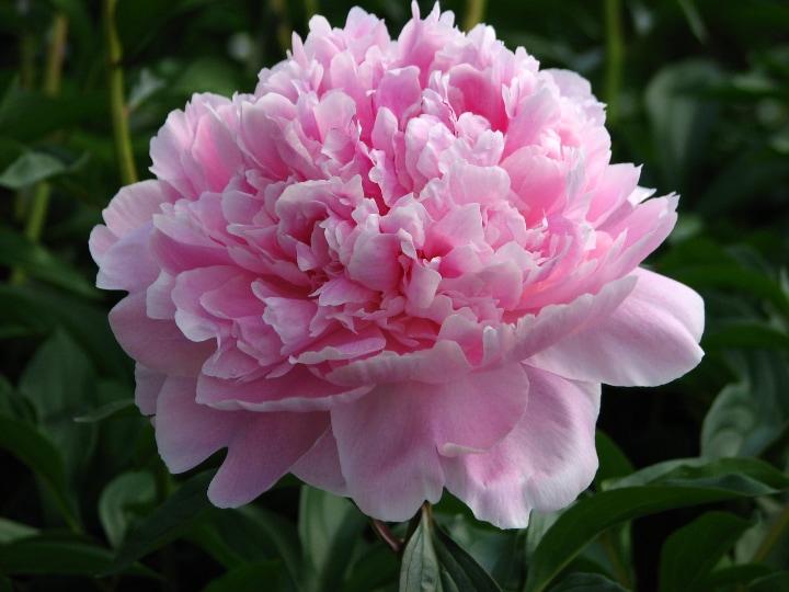 reine hortense peony