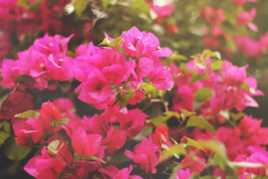 rose azaleas