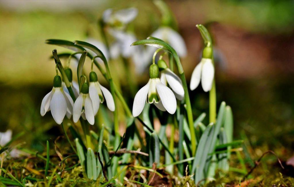 snowdrops wildflowers