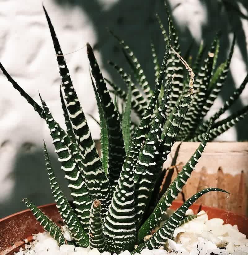 succulent zebra hawthornia