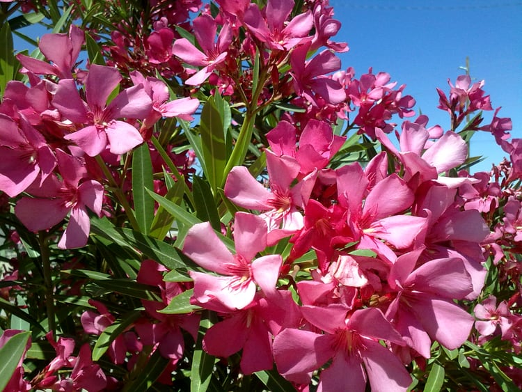 toxic oleander plants for pets