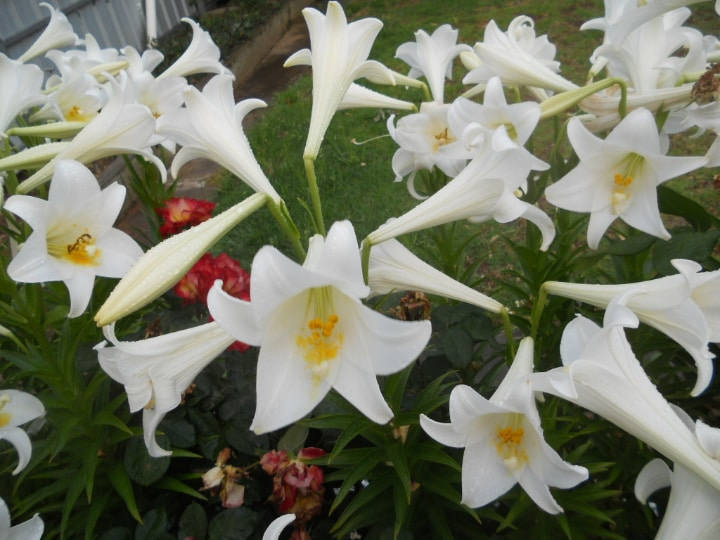 trumpet lily flowers