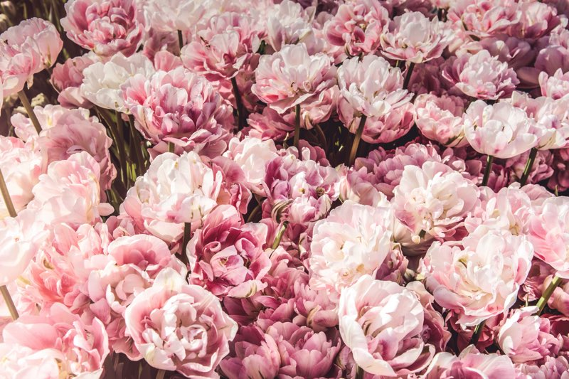 types of peonies