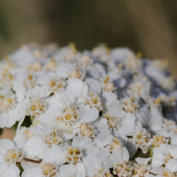 white yarrow flowers