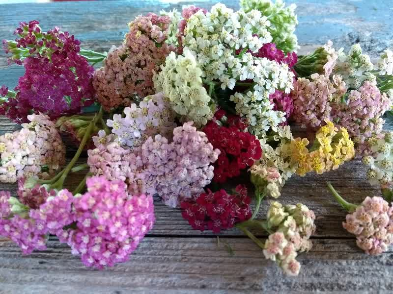 yarrow meaning colors