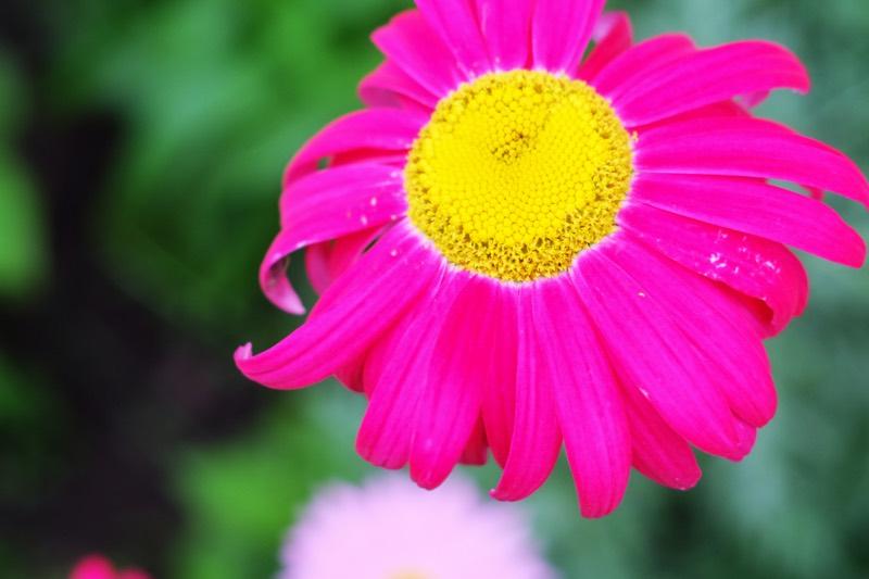 yellow pink daisy