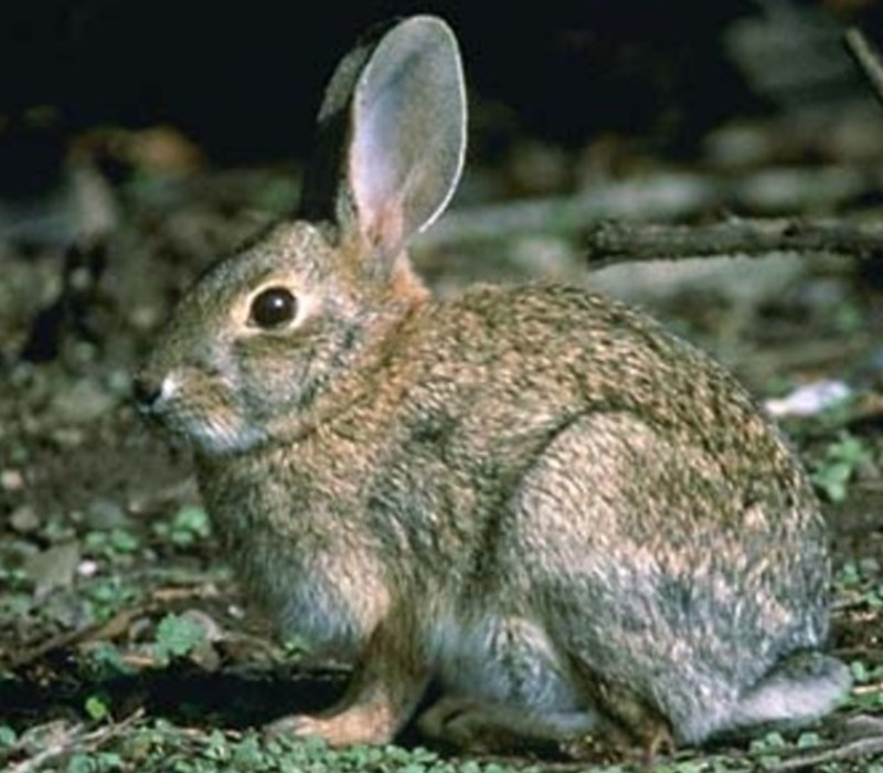american-rabbit