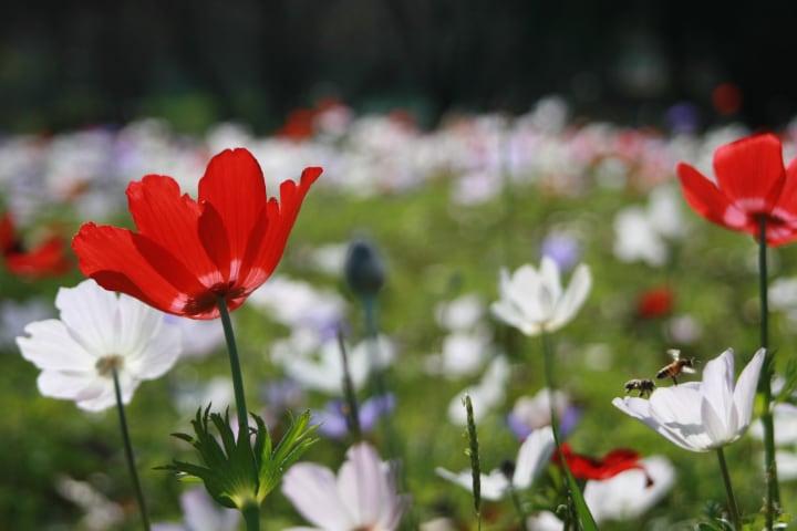 anemone field flowers