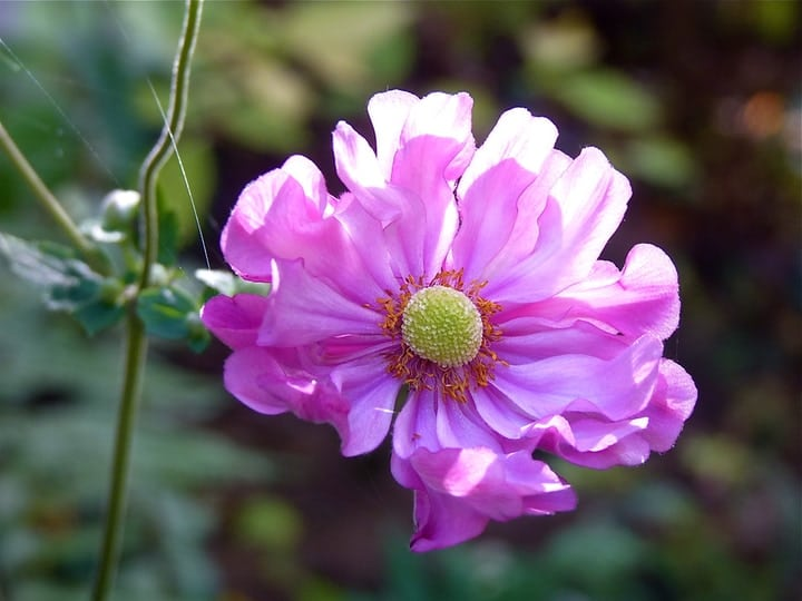 anemone flower in the sun