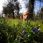 anemone flowers are poisonous to dogs