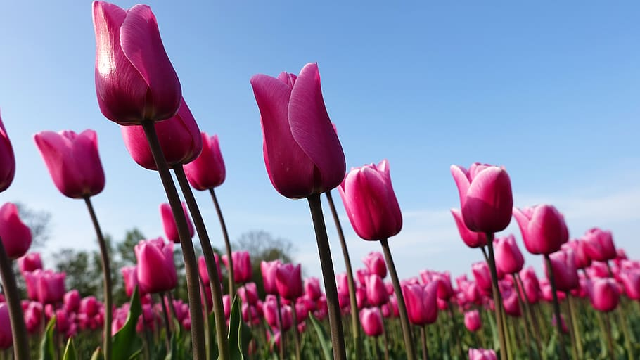 Are Tulips Toxic to Cats