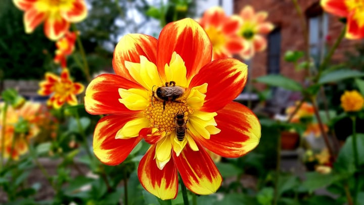 bees pollinating dahlias in the garden