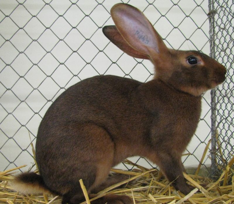 belgian-hare-rabbit