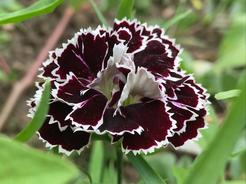 black carantion dianthus perennia flower