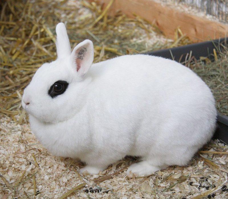 blanc-de-hotot-rabbit