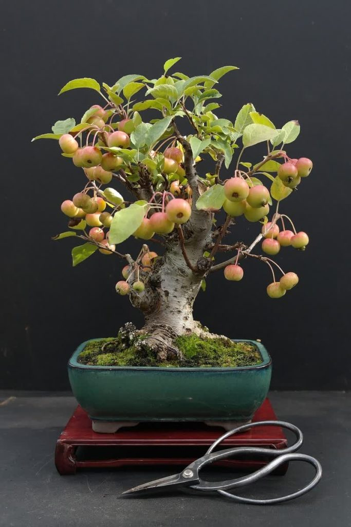 bonsai apple tree