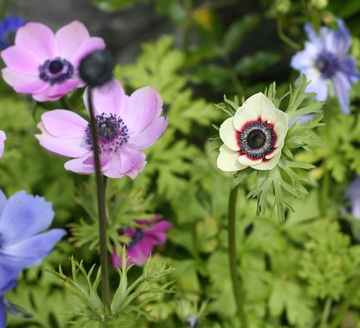 caring for anemone flowers in the garden