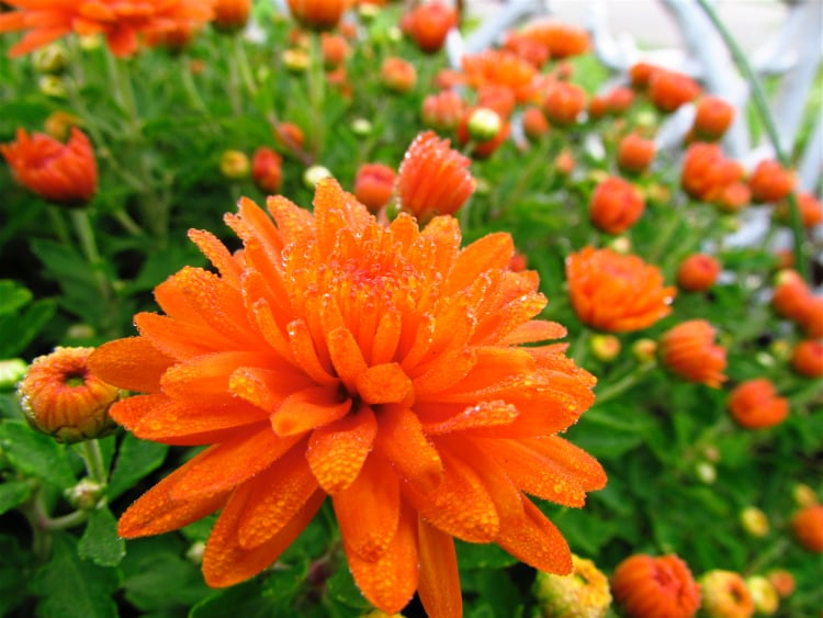 Chrysanthemum are Flowers Toxic to Cats