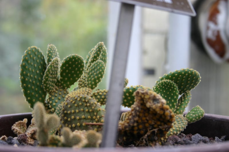 common types of succulents bunny ears cacti