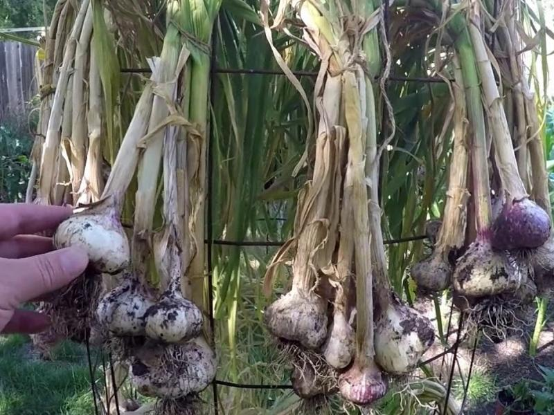 curing garlic plants