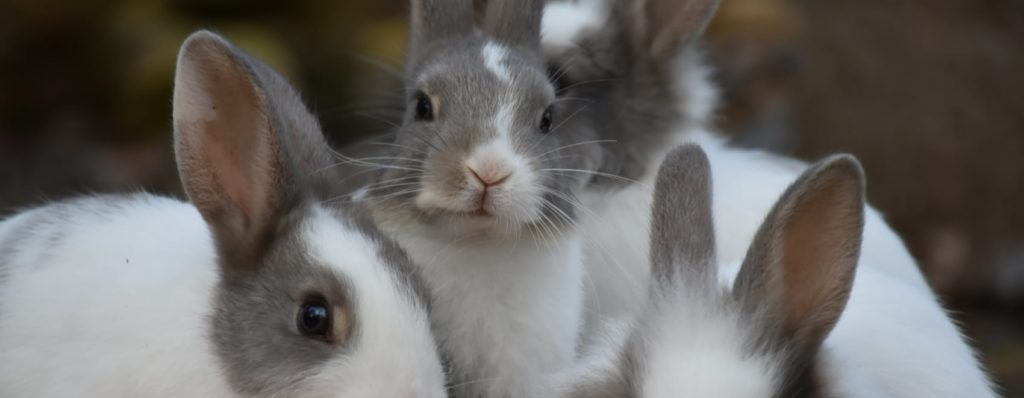cute fluffy white gray rabbits